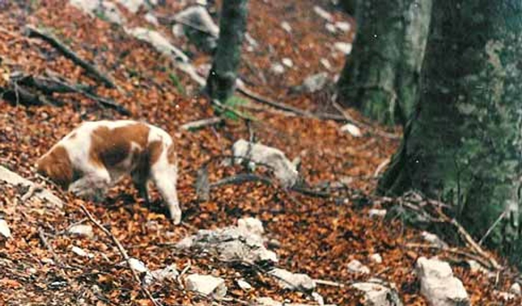 Provincia Medio Campidano Il Cane Da Tartufi Tocco Replica Non è