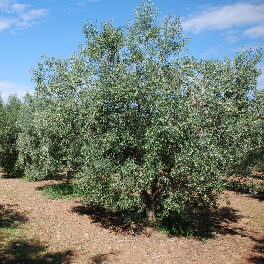 La cucina piccolina for Acquisto piante olivo
