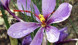Un fiore di zafferano