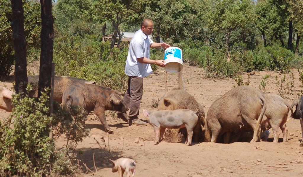 Come allevare un maiale fare di una mosca for Cattura per capre