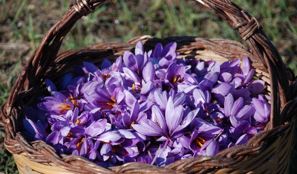 Fiori Zafferano.Provincia Medio Campidano Nasce Il Progetto Il Fiore Dello