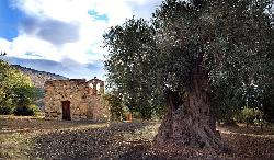 Rural church of San Domino among century-old olive trees
