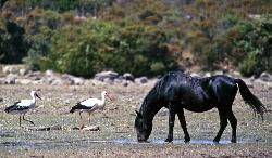 Stork and small horse on the Giara of Gesturi